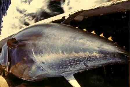 tonfisk
