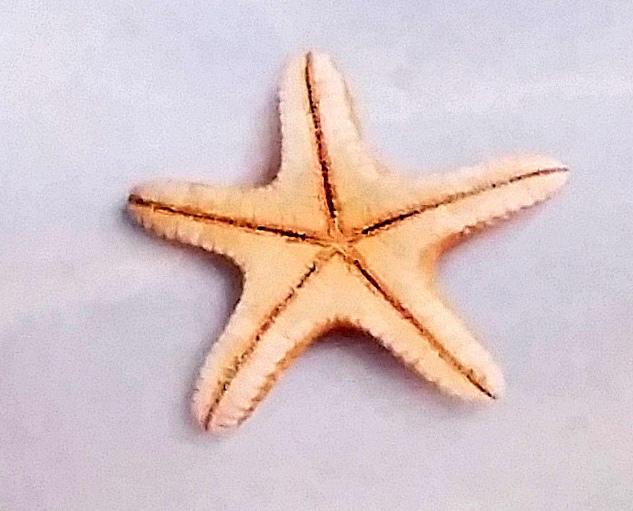 Knä-sjöstjärna-2